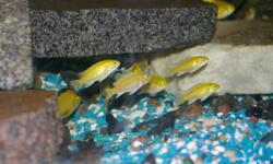 I am selling my electric yellow.  I am trying to sell all my fish.  Will sell in groups or all.  If in groups 1.50 each.  sizes are 2 inches and up.  If you take them all (300 or so)  make me a offer.