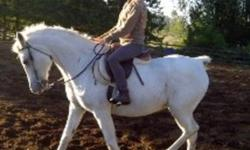 Lady- 13 year old black Arab X Quarter horse mare. she is 14.2 hh she has a quarterhorse build with a absolutely stunning arab head. Lady is a extremly easy keeper, excellent feet loads and trailers well. she needs a intermediate rider as she has heart