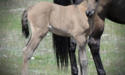 Endurance,Show, reining, Pleasure,Dressage, Western, Halter Prospect. 2011 AHA Sweepstakes Nominated grulla colt. Halterbroke, ties and UTD on deworming etc. Has great extension & floating movement, excellent conformation & type. His sire is the