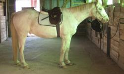 """Like to do a bit of everything? This is a fantastic all round, do a bit of everything saddle!   I have had it on many shapes and sizes of horses. Used it on my tb, our hanoverian/tb, a handful of quarterhorses and some pony muts. In the picture """"Buddy"""""""