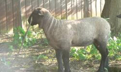 Registered Suffolk ram lambs and yearlings for sale. British and North American bloodlines. Over 100 lbs at 100 days! mailto:sheep@kingston.net