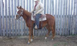 """""""Chaos"""" ( Barst Call Me Chaos APHA # 943487) is a 3 year old """"solid"""" chestnut running bred Paint gelding --he is 15-15 hands and will mature at about 1000 pounds -- this is a very well bred horse with a great temperament---and he could be used for many"""