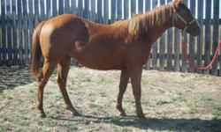 "---""Rainon""  ( Barst Rainon Me Rona AQHA # 5271210) is an exceptional yearling prospect---take a look at those pictures or come see !! --- excellent conformation and breeding --- he is very quiet and has extensive ground work since birth---leads, ties,"