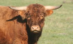 Our bull is well-behaved and gentle. Great confirmation. Excellent addition to your breeding program. Please contact for further information. Delivery available.