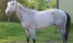 15.2hh, 10 yrs, dappled grey mare. She has done walk, trot, canter, trained for hunter after the track, jumps small jumps, has been free jumped up to 4ft, with lots of room to go higher! She has basic dressage. Hasn?t been worked in while. Hacks well down