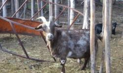 2 Fainting/Cashmere cross goats.  Mother/Daughter pair.  Brown is the older and black is her kid from 2009.  The mother is around 3 or 4 and the daughter is 2.  Priced seperately at $100 each or get the pair for $150.  The brown one is friendly and the