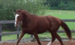 2009, 15.2HH (should mature 16.0hh), Chestnut Jockey Club registered Thoroughbred filly. Never raced, she is also a minimally marked Sabino! Fabulous mover, excellent mind and good form over fences. This is a very well bred fancy filly who could excel in