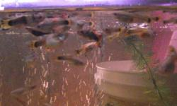 I have lots of fancy guppies ranging from fry to mature adults (females are pregnant). The quality is better than the pet stores which charge up-to 6.99 a piece! Healthy and disease-free guppies. Usually you have 1 male to 3 females (the males are