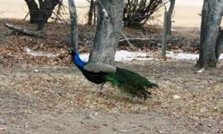 I have a few very fantastic Peacocks for sale, there are now very limited numbers, most have started to grow thier tails. Large health free range birds, the best you can buy.  Mature birds and year olds.  email or call 261 2320