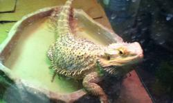 Adult female bearded dragon for sale, friendly and healthy. Never had any issues with health or people. She is 2 years of age. I am moving to another country and really need to sell her ! Please email or text me if you are interested. TEXT preferably.