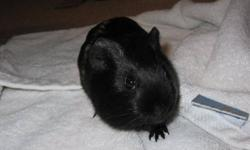 10 weeks old...ready to go to a new home.  Must provide own cage, etc.  She's mostly black and has a smooth coat.  Very cute!  Only serious inquiries please.