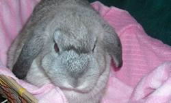 Cleo -Mini-Lop x Holland Lop Baby Bunny Looking For a Loving Home. Silver Female. Gorgeous Soft Coat. Use To Kids, Cats and 2 Small Dogs. 13 Weeks Old. Cleo is a Sweet and Curious Girl. She Loves Attention and To Be Pet. She Will Be 5-6 Pounds Full