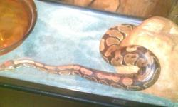 hi im selling my female ball python (jay) she is a year and ahalf i have had her since she was born very good with people loves to be held great with children also she is eatting frozen large rats the reason im selling her is because i just dont get