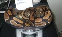 2007 Female Normal 2366 grams, cycled and ready to breed: $150 2010 Female Normal 712 grams: $80 2009 Female Het. Orange Hypo 1234 grams: $350 Snakes are eating weekly on frozen/thawed rats. Selling them because they do not fit into my breeding plans.