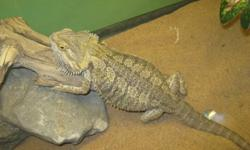 Up for Sale is a Female Bearded Dragon   $225.00 or reasonable offer   Sadie is almost 2 years old,   Her tank is included, and is 4 ft long and 1.5 ft in width,   All tank accessories included, such as... heat lamps, logs, rocks, plant, large food dish