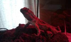 I have a 1.5 year old bearded dragon for sale 250 with eveything, cage , water bowl, food bowl, lights and food (what we have left). Or if you just want the beardy 100$.. good home only! She never bitten anyone.