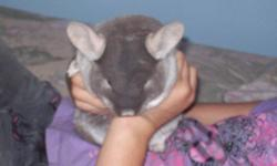 I have a female beige 4 year old chinchilla named Paisley for sale. she is good with dogs and cats and children. she is quite friendly to hold and be petted, she really likes being petted once she gets used to people. I have had her for a year and a half