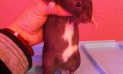 We have two female rats. Our black female has taken to picking on our other rat. We need to find our healthy girl a home. She isn't fighting just aggressively and constantly grooming her cage mate We believe our original girl might have cancer like her