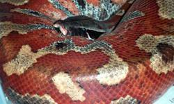 Hello. I am looking for female blood and shot-tail pythons. They are my favorite snake and I would like to start breeding them. I am looking for females over 1 year old. Please contact James Valin at 250-640-9948 if you have a female blood or short-tail