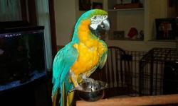Very friendly and talkative 7 1/2 year old Blue and Gold Macaw with large cage for sale. She loves attention and being held. $1200 firm
