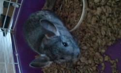 I'm selling my standard gray female chinchilla with her cage and accessories. She will be 2 in February. She loves being petted but is a bit skittish to be picked up, has never bitten, i have had her since she was 8 weeks old. Cage is BRAND NEW, i bought