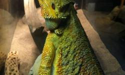 Right here you have yourself a beautiful female color morph bearded dragon at age 1.9yrs old weighing 343grams, proven breeder. Mainly fed on crickets, superworms and salads and the odd treat here and there.   She's missing no body parts as you can see