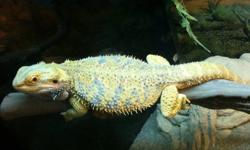 Got some female bearded dragons up for sale trying to free up some space but in no rush to get rid of them no low ballers dont waste my time please! Both very healthy and nice weight.   1. Citrus Lavender female 1.5yrs old $120.00 2. Super red female