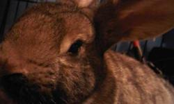 Hi, we have a brown rabbit free to a good home. Her coat is a beautiful brown with black markings on it. She is about 6 months old and well-fed. She pees in her litterbox, so she is easy to clean up after. However, she is a little skittish, but will come
