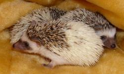 Hello All Im looking for a female Hedgehog between six months to a year of age in any color except salt and pepper please e mail me if you have other questions   Thanks   Ps i am willing to give any hedgehog a good home if you need a home for your hog