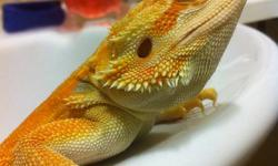 I have a 5month old gorgeous Female Hypo orange leatherback bearded dragon for sale her name is Peaches she's currently housed with 6 other bearded dragons and gets along great. She eats like a pig and yes the pictures are her true color 24/7. Missing no