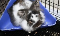 Selling 8Mth Female Lionhead Rabbit. Includes: - Full size large cage               - Food               - Shavings               - Litter Dish               - Other Accessories Asking $120 obo.