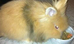 2 month old lionhead bunny for sale! She comes with cage, litter box, toys and food/water dish and food, harness and leash. Shes a sweetheart never bit anyone and loves to be cuddled and pet. Shes very quiet at night time and shes also littered trained.