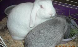 1 Red-Eyed White Mini Lop Female Looking For Loving Retirement Home. 2 Years Old. She is Very Friendly and Loving. Loves Attention and To Be Pet. Laid Back Personality. Excellent Pet For A Child or Adult. Partially Litter Trained. Asking $10 for her as I
