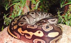 Hi I am selling my female yearling mojave ball python bred by J&J Reptiles. She is puppy dog tame feeding on small or medium frozen thawed rats. She comes with her big custom wood enclosure 4'x2'x1' (LWH) and all her hides, water bowls, plants, heat lamp,