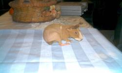 Eight weeks old with a good temperment.  She has a very fine coat - good for allergies. Looking for an unusual pet?