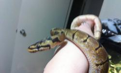 Confirmed female spider ball python for sale, less then a year old She eats frozen rat pups every week with no issues. Gorgeous colouration, bright golds and dark blacks. Very friendly and easy to handle, great as a starter snake for all ages :) She comes