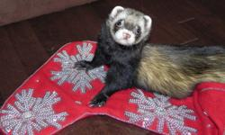 Responsible married couple looking to board your ferrets and/or lizards this holiday season.  We encourage potential clients to meet us and view our home/animals before deciding to use our services.  Once you see how happy and spoiled our little guys are,