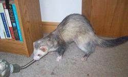 I have a 2.5 year old male ferret for sale named Shadow. Comes with cage, litter pan, food dish, water bottle, nail clippers, leash and harness, and toys. He's lots of fun to play with, and is very friendly.