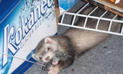We have a 3 year old ferret for sale.  His name is Buddy, he is very friendly and loves attention.  He loves to run and play and loves kids.  He also comes with a 5 foot high cage. We paid 300 for Buddy at PJs Pets and we paid 300.00 for the cage at MR