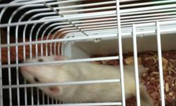 So it seems to be a challenge to have 3 ferrets so i would be willing to sell the two females or trade for a male ferret. More pictures on request. This ad was posted with the Kijiji Classifieds app.
