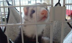a seal point color ferret one year old with a really big 3 leveled cage bedding and a lot of food !!she is really cute, playful and do not need too much attention. Ok this other animals and children. i spent over 800$s for everything, now im only asking