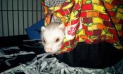 I have an 11 month old female ferrett for sale.. She is very friendly and loves to play with other animals. She currently plays with 2 adult cats.   She comes with a brandnew ferrett nanion cage, food.. bed and litter box