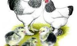 We sell fertilized eggs from the Light Brahmas. $ 1.00 per egg   We also sell Light Brahma chicks (see my other Ads)   Shipping availably (for eggs)   The Brahmas are a very old breed from Asia, probably originating in India and brought to this country