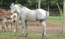 Yearling fewspot appaloosa colt. Very nice boy, will mature in the 16hh range. He is not registered. UTD on deworming and farrier. Easy horse to handle. He has a hernia, which should be repaired.. hence the low price. Not gelded. Can deliver him within a