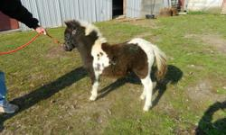 One sweet black and white filly foal for sale.  Mother is wonderful on the cart and filly has same sweet temperment.  She was born in August of this year and is not registerable.  Call the Brussels area for more information.