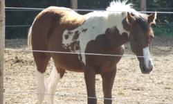 """RB Half Max ( aka - Pickles) is a six month old filly with a excellent temperment and fantastic show prospect. This filly's great grandfather is """"Blue Max"""" one of the hightest point earning black and white stallions ever!! Pickles has been groomed,"""