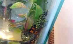 HI IM SELLING MY FIRE BELLY TOAD WITH SET UP IF YOU LIKE EMAIL ME OR CALL ME OR TEXT ME AT 587 894 1313