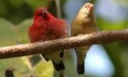 I still have several pairs of fire finch available. These are adult birds and are ready to breed. The male has a very attractive fiery red color. These birds have to go as pairs.