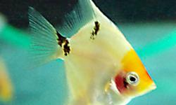 """ANGEL FISH PTEROPHYLLUM SCALARE  Perhaps the most popular cichlid, Angelfish are sought for it's unique body shape and multitude of color strains. We  have medium angels 1 1/2"""" + size available Marble Vail, Koi and Gold Left $6 - $8 each Better prices by"""