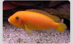 RED ZEBRA CICHLIDMAYLANDIA ESTHERAE This fish, like most from Lake Malawi, is a mouthbrooder Sought fot their brilliant sometimes fluorescent orange colorMakes a great addition of color to your aquarium We have a breeding pair for $25/ Pair Call 519